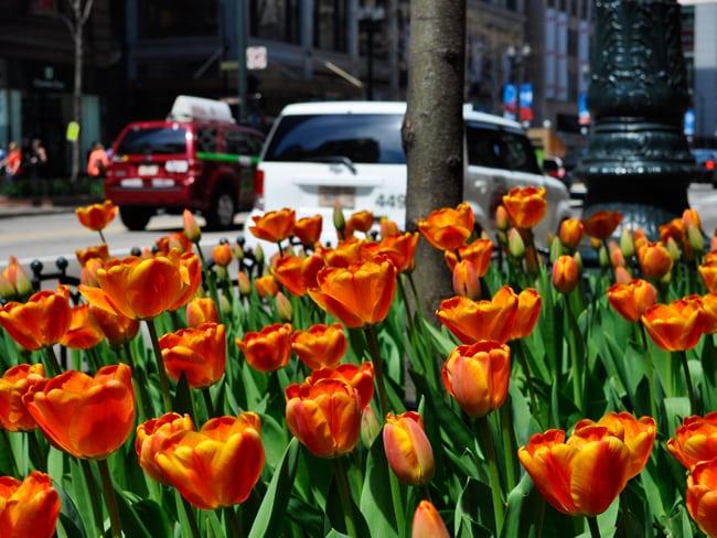 TulipsChicagoLoop